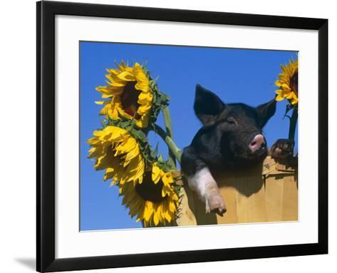 Domestic Piglet in Bucket with Sunflowers, USA-Lynn M^ Stone-Framed Art Print