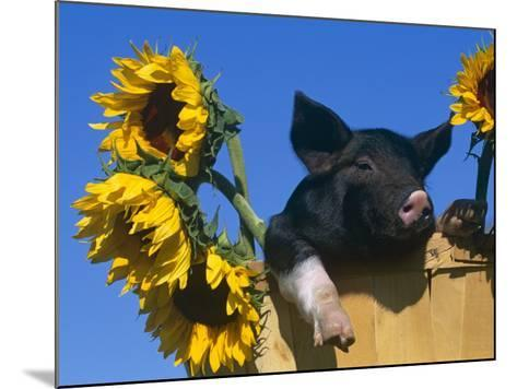 Domestic Piglet in Bucket with Sunflowers, USA-Lynn M^ Stone-Mounted Photographic Print