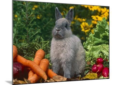 Domestic Netherland Dwarf Rabbit Amongst Vegetables, USA-Lynn M^ Stone-Mounted Photographic Print