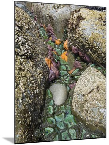 Giant Green Anemones, and Ochre Sea Stars, Exposed on Rocks, Olympic National Park, Washington, USA-Georgette Douwma-Mounted Photographic Print