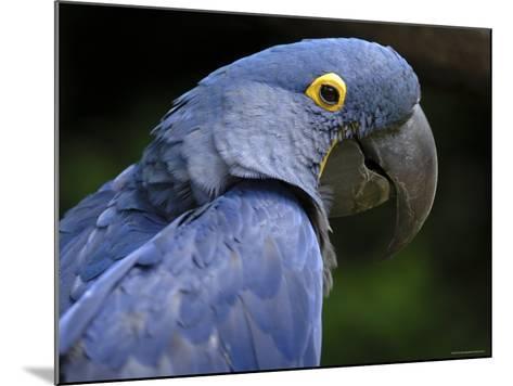Hyacinth Macaw, Head Profile-Eric Baccega-Mounted Photographic Print