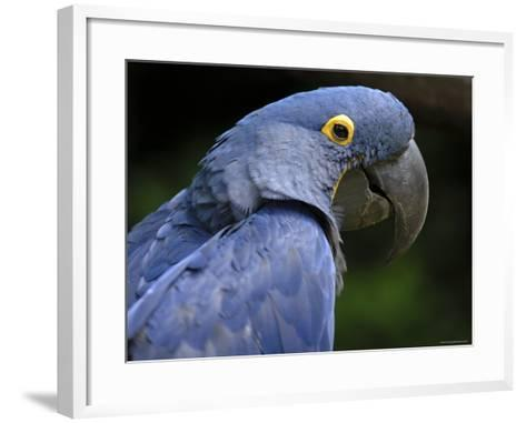 Hyacinth Macaw, Head Profile-Eric Baccega-Framed Art Print