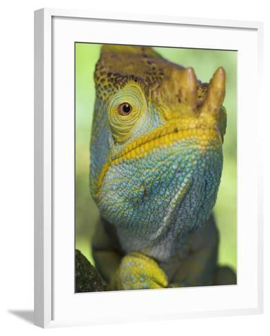 Portrait of Male Parson's Chameleon, Ranomafana National Park, South Eastern Madagascar-Nick Garbutt-Framed Art Print
