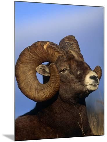 Rocky Mountain Bighorn Sheep, Jasper National Park, Alberta, Canada-Lynn M^ Stone-Mounted Photographic Print