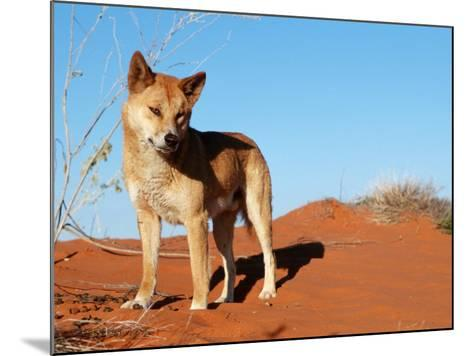 Dingo on Sand Dunes, Northern Territory, Australia-Bartussek-Mounted Photographic Print