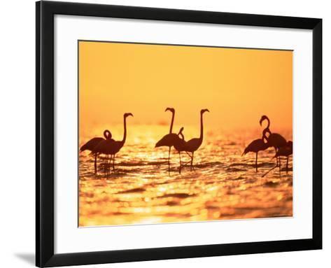 American Flamingos on Lake at Sunset, Yucatan, Mexico-Lucasseck-Framed Art Print