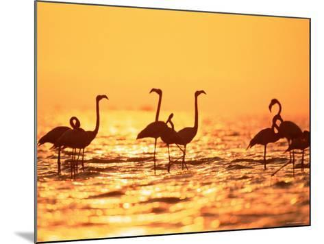 American Flamingos on Lake at Sunset, Yucatan, Mexico-Lucasseck-Mounted Photographic Print