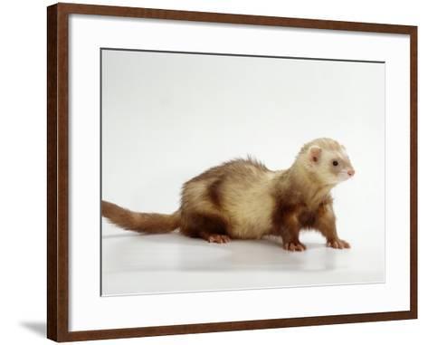 Ferret-Steimer-Framed Art Print