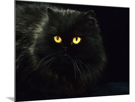 Domestic Cat, Black Persian Female at Night, Yellow Eyes Shining-Jane Burton-Mounted Photographic Print