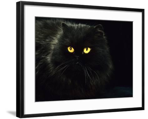 Domestic Cat, Black Persian Female at Night, Yellow Eyes Shining-Jane Burton-Framed Art Print