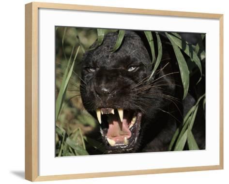 Melanistic (Black Form) Leopard Snarling, Often Called Black Panther-Lynn M^ Stone-Framed Art Print