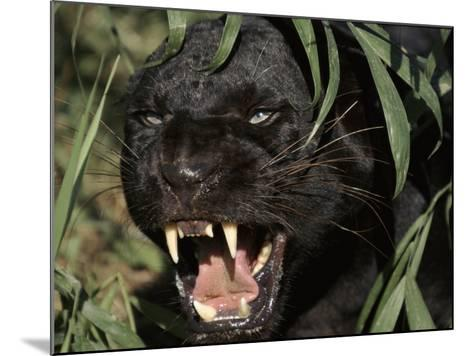 Melanistic (Black Form) Leopard Snarling, Often Called Black Panther-Lynn M^ Stone-Mounted Photographic Print
