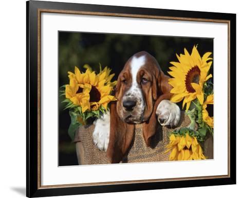 Bassett Hound Pup with Sunflowers-Lynn M^ Stone-Framed Art Print