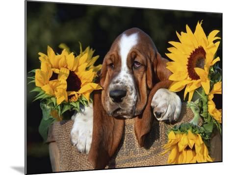 Bassett Hound Pup with Sunflowers-Lynn M^ Stone-Mounted Photographic Print