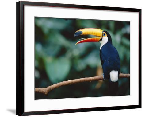 Toco Toucan in Tree, Igazu National Park, Brazil, Iguassu-Staffan Widstrand-Framed Art Print