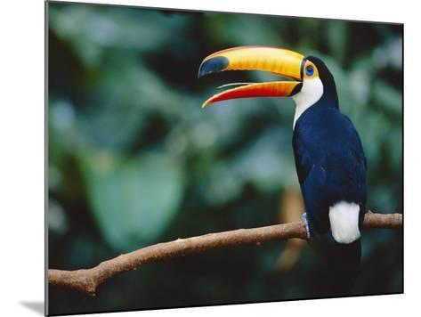 Toco Toucan in Tree, Igazu National Park, Brazil, Iguassu-Staffan Widstrand-Mounted Photographic Print