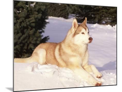 Siberian Husky Resting in Snow, USA-Lynn M^ Stone-Mounted Photographic Print
