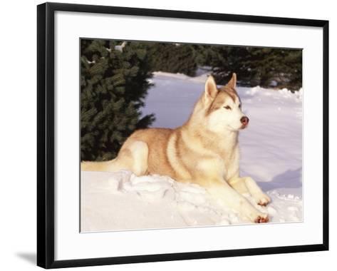 Siberian Husky Resting in Snow, USA-Lynn M^ Stone-Framed Art Print