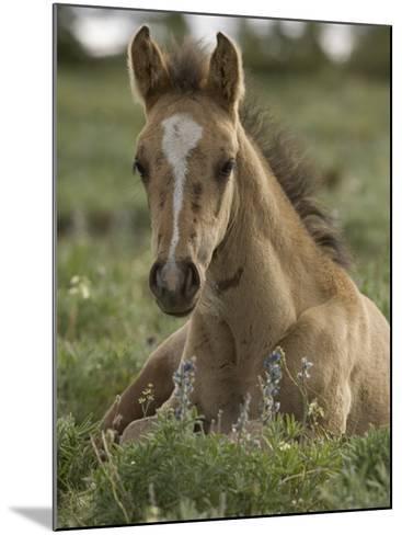 Mustang / Wild Horse Colt Foal Resting Portrait, Montana, USA Pryor Mountains Hma-Carol Walker-Mounted Photographic Print
