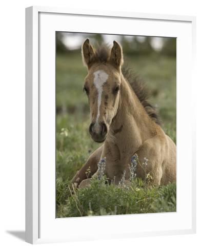 Mustang / Wild Horse Colt Foal Resting Portrait, Montana, USA Pryor Mountains Hma-Carol Walker-Framed Art Print