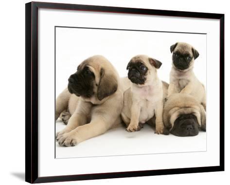 Fawn Pug Pups with Fawn English Mastiff Puppies-Jane Burton-Framed Art Print