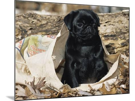 Pug Puppy in Sacking, USA-Lynn M^ Stone-Mounted Photographic Print