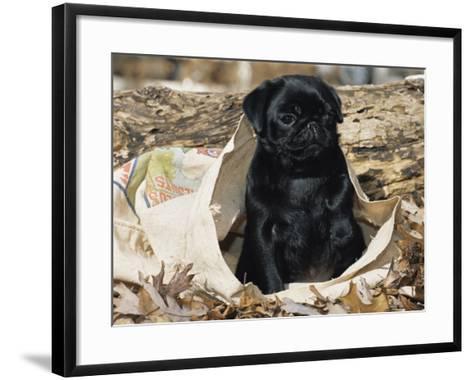 Pug Puppy in Sacking, USA-Lynn M^ Stone-Framed Art Print