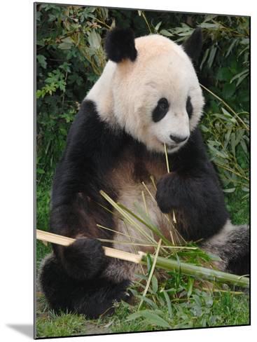 Giant Panda, Eating Bamboo-Eric Baccega-Mounted Photographic Print