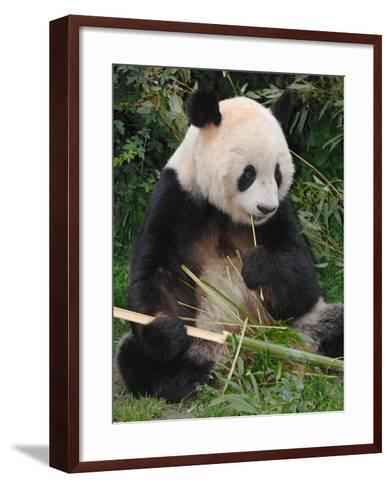 Giant Panda, Eating Bamboo-Eric Baccega-Framed Art Print