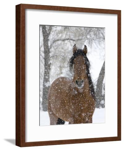 Bay Andalusian Stallion Portrait with Falling Snow, Longmont, Colorado, USA-Carol Walker-Framed Art Print