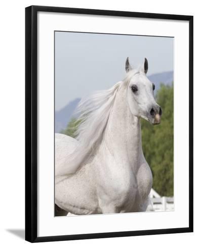 Grey Arabian Stallion Portrait, Ojai, California, USA-Carol Walker-Framed Art Print