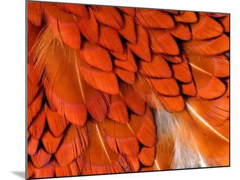 Male Pheasant Feathers, Devon, UK-Ross Hoddinott-Mounted Photographic Print