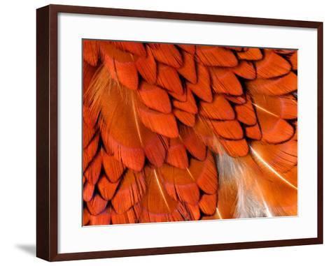Male Pheasant Feathers, Devon, UK-Ross Hoddinott-Framed Art Print