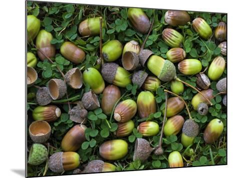 English Oak Tree Acorns on Forest Floor, Belgium-Philippe Clement-Mounted Photographic Print