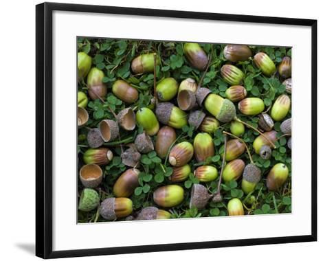 English Oak Tree Acorns on Forest Floor, Belgium-Philippe Clement-Framed Art Print