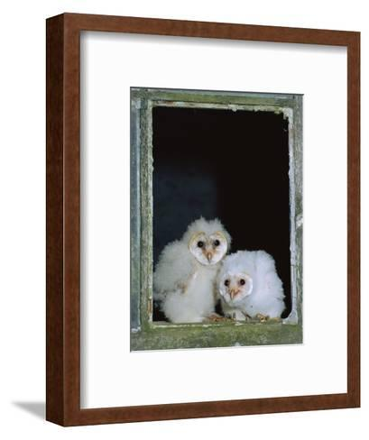 Barn Owl Chicks in Window Cornwall, UK-Ross Hoddinott-Framed Art Print
