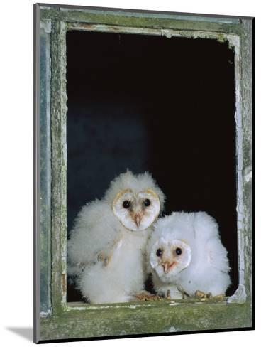 Barn Owl Chicks in Window Cornwall, UK-Ross Hoddinott-Mounted Photographic Print