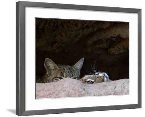 Two American Bobcats Peering over Rock in Cave. Arizona, USA-Philippe Clement-Framed Art Print