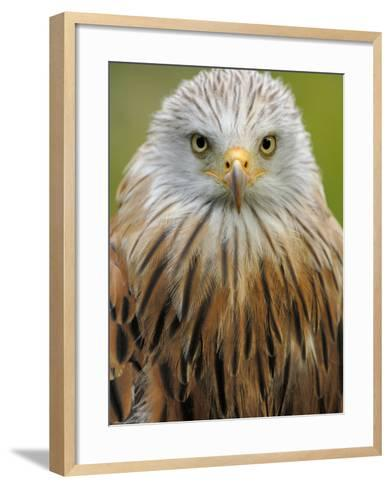 Red Kite, Iucn Red List of Endangered Species Captive, France-Eric Baccega-Framed Art Print
