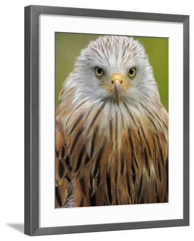 Red Kite, Iucn Red List of Endangered Species Captive, France-Eric Baccega-Framed Art Print