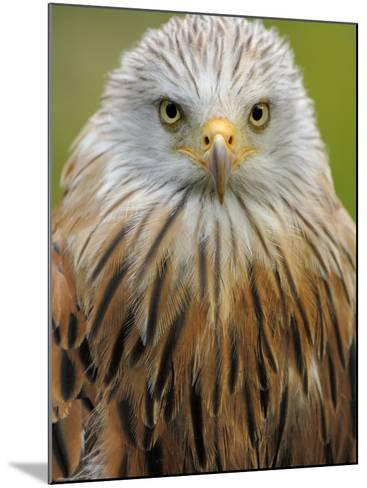 Red Kite, Iucn Red List of Endangered Species Captive, France-Eric Baccega-Mounted Photographic Print