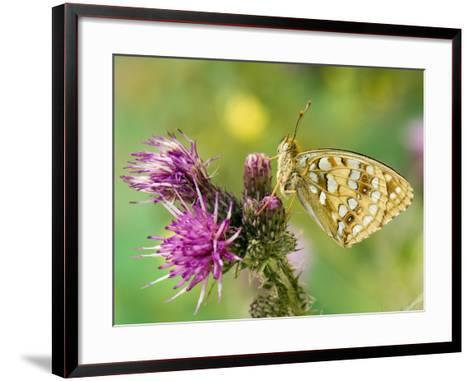 High Brown Fritillary Butterfly on Thistle, UK-Andy Sands-Framed Art Print