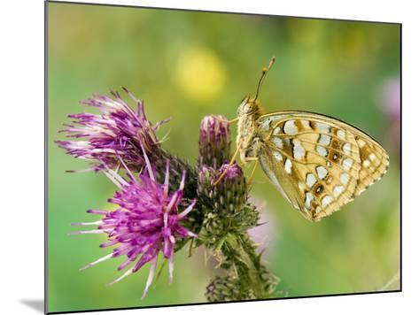 High Brown Fritillary Butterfly on Thistle, UK-Andy Sands-Mounted Photographic Print
