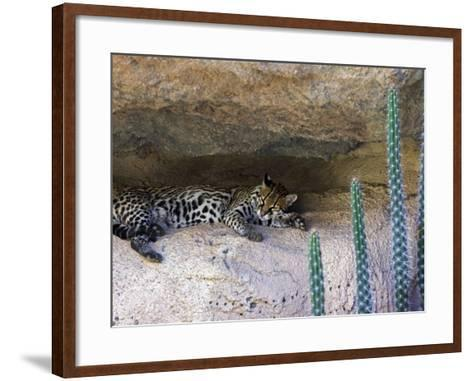 Ocelot Resting in the Shade of a Cave. Arizona, USA-Philippe Clement-Framed Art Print