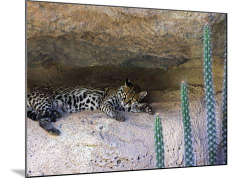 Ocelot Resting in the Shade of a Cave. Arizona, USA-Philippe Clement-Mounted Photographic Print
