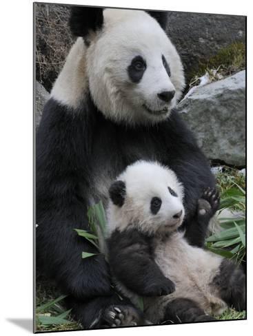 Giant Panda Mother and Baby, Wolong Nature Reserve, China-Eric Baccega-Mounted Photographic Print