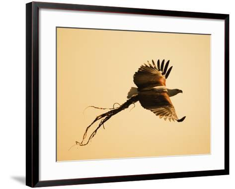 African Fish Eagle Carrying Nesting Material, Chobe National Park, Botswana May 2008-Tony Heald-Framed Art Print