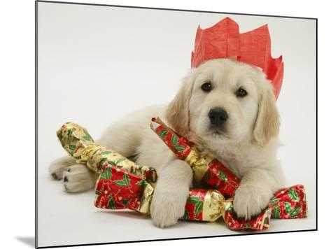 Golden Retriever Puppy with Christmas Crackers Wearing Paper Hat-Jane Burton-Mounted Photographic Print