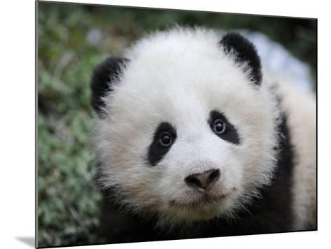 Giant Panda Baby, Aged 5 Months, Wolong Nature Reserve, China-Eric Baccega-Mounted Photographic Print