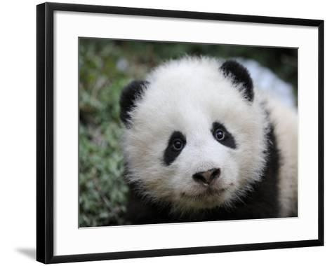 Giant Panda Baby, Aged 5 Months, Wolong Nature Reserve, China-Eric Baccega-Framed Art Print